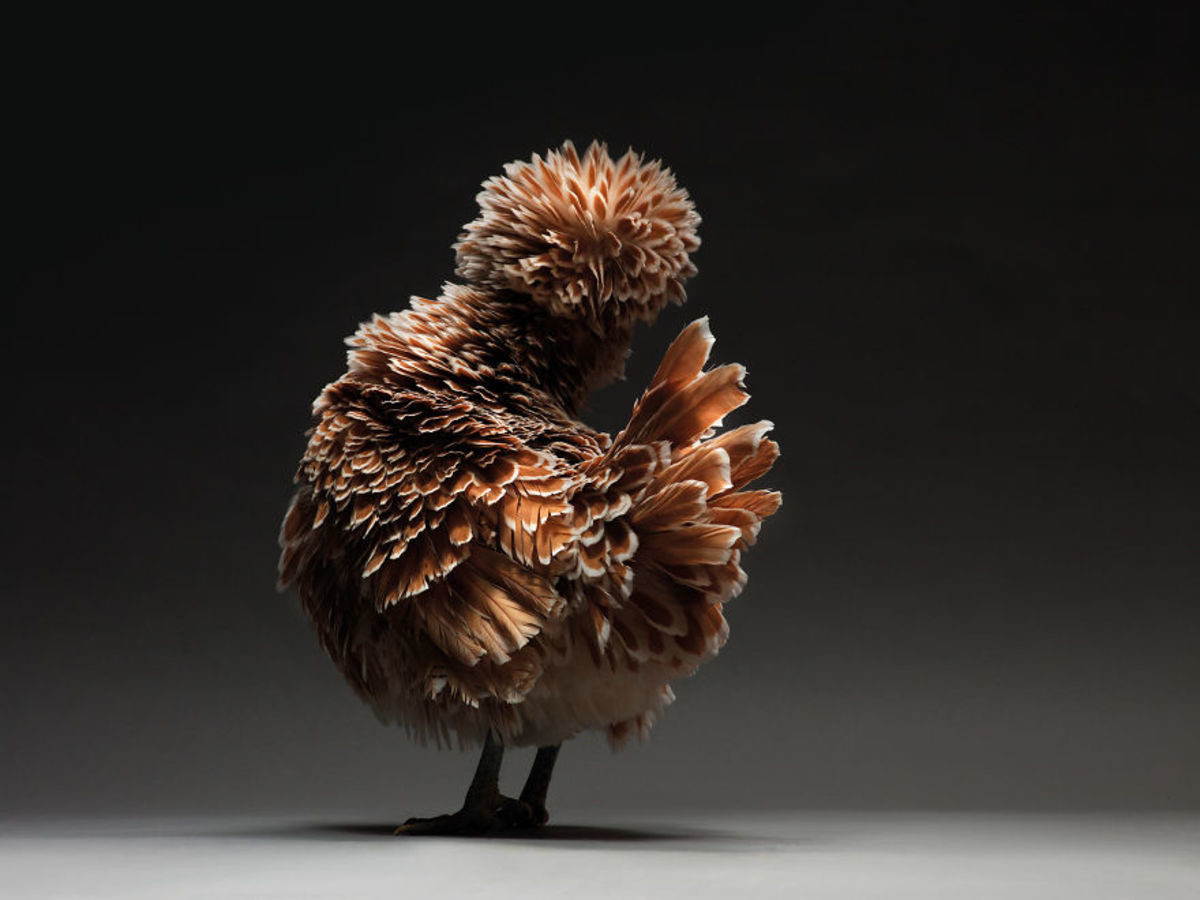 Retratos das galinhas mais bonitas do planeta capturam sua beleza subestimada 11