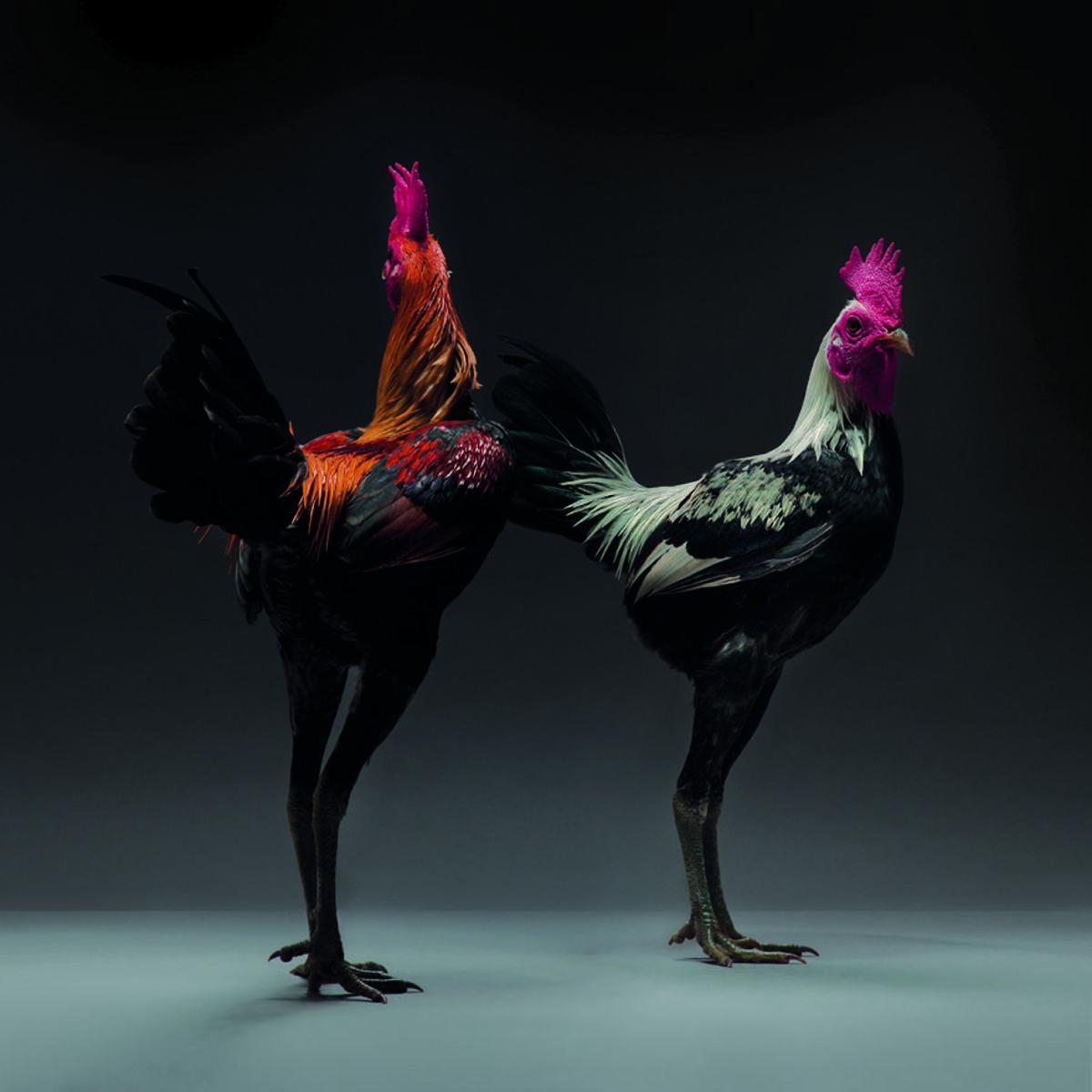 Retratos das galinhas mais bonitas do planeta capturam sua beleza subestimada 13