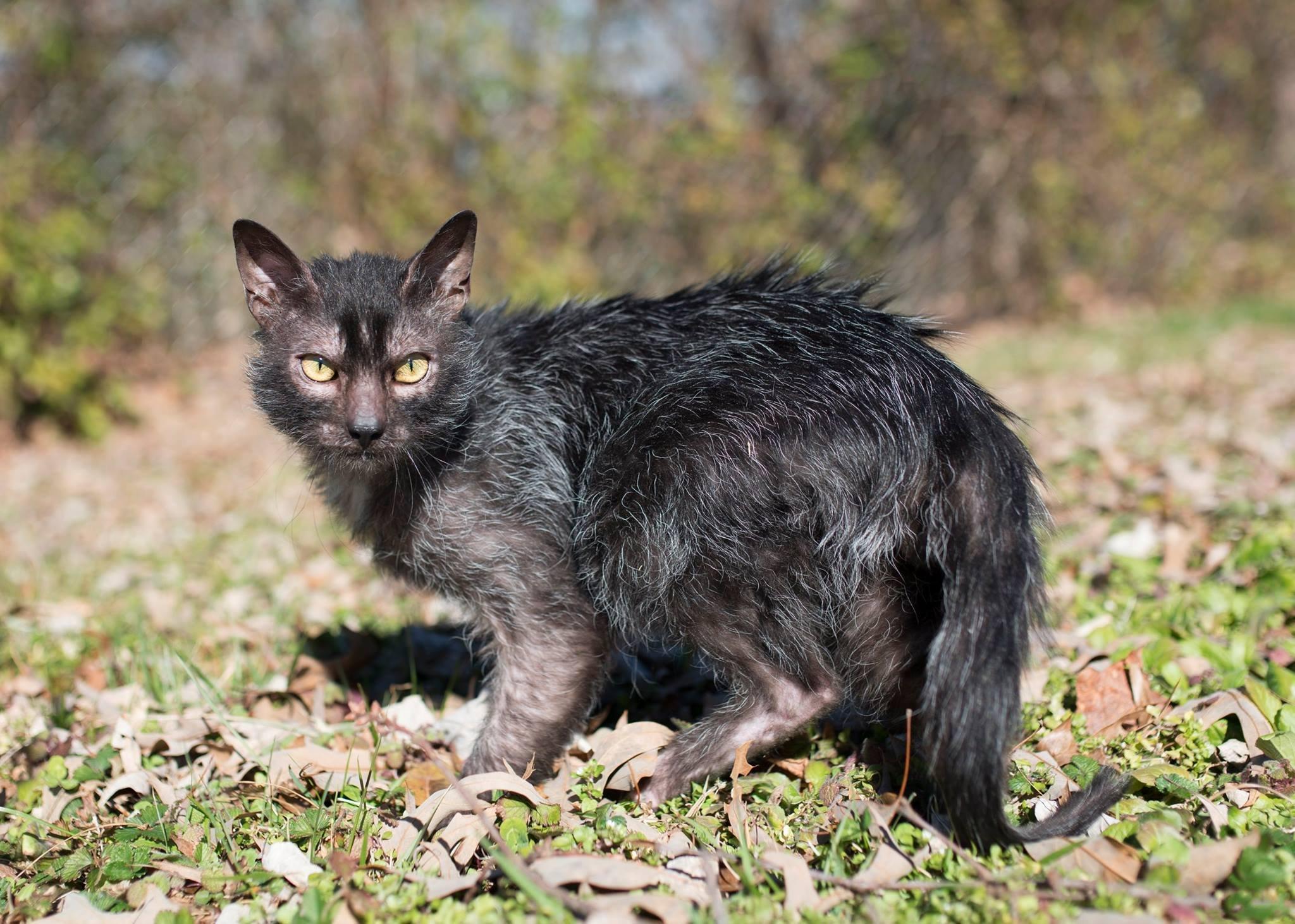 O gato lobo, qual a origem de este gato bizarro e adorável?