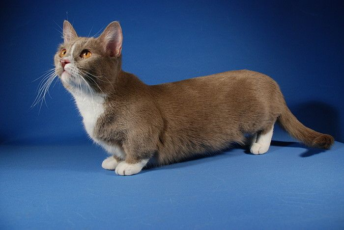 Munchkin, os gatos salsicha 01