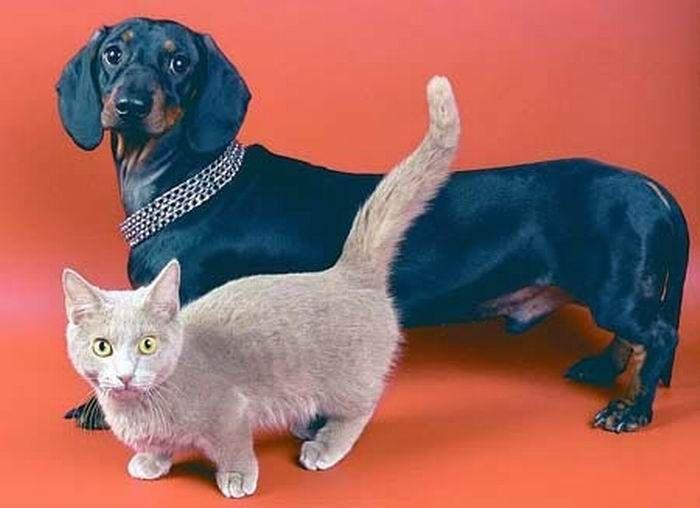 Munchkin, os gatos salsicha 02