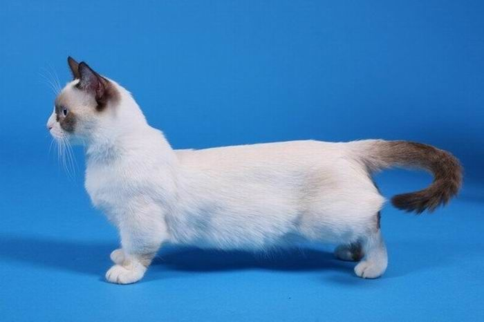 Munchkin, os gatos salsicha 03
