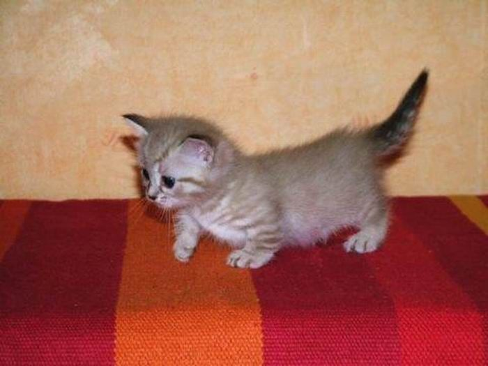 Munchkin, os gatos salsicha 04
