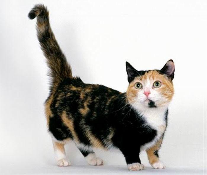 Munchkin, os gatos salsicha 05