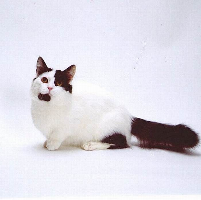 Munchkin, os gatos salsicha 06