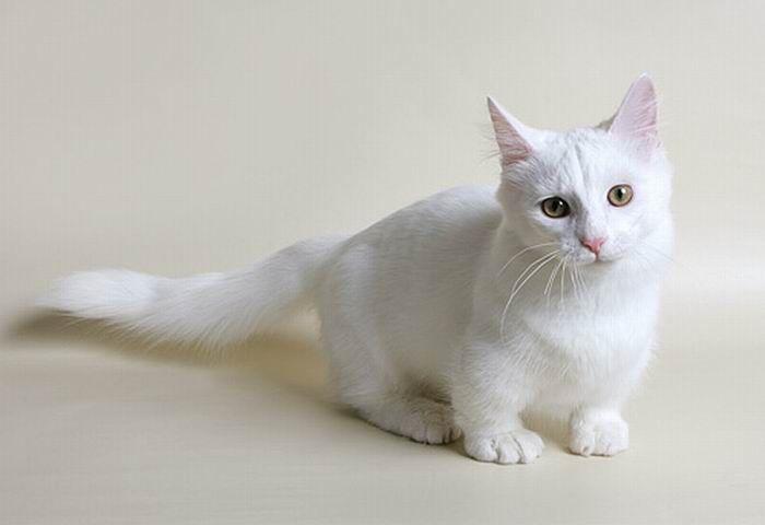 Munchkin, os gatos salsicha 07