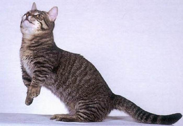 Munchkin, os gatos salsicha 08