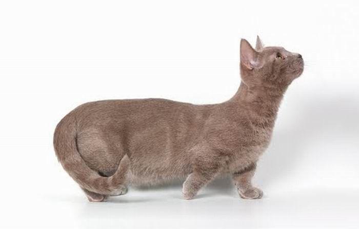 Munchkin, os gatos salsicha 09