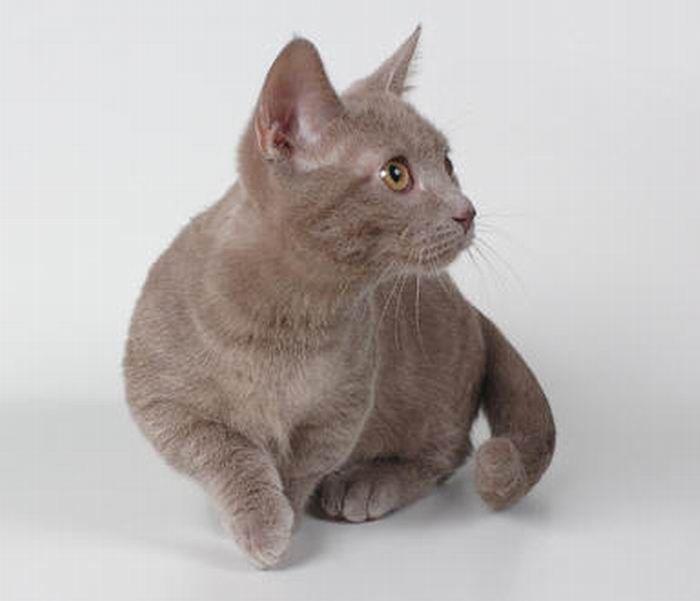 Munchkin, os gatos salsicha 10