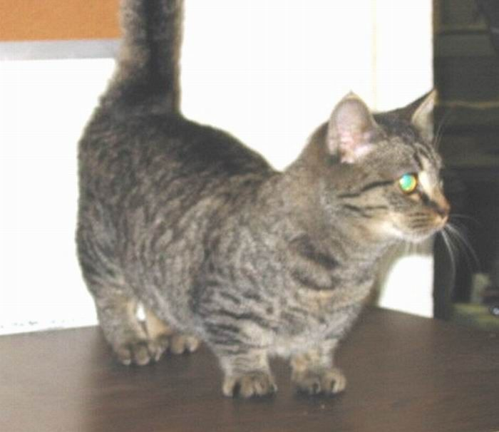 Munchkin, os gatos salsicha 11