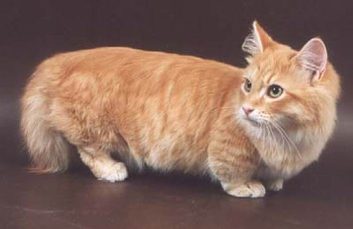 Munchkin, os gatos salsicha 12