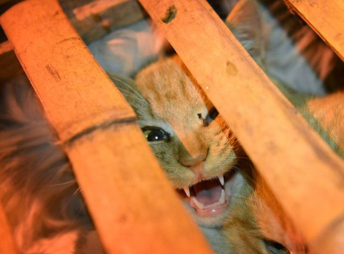 Volunt�rios resgatam 1000 Gatos do abate na China depois de acidente de caminh�o 01