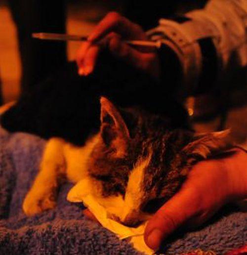 Volunt�rios resgatam 1000 Gatos do abate na China depois de acidente de caminh�o 07