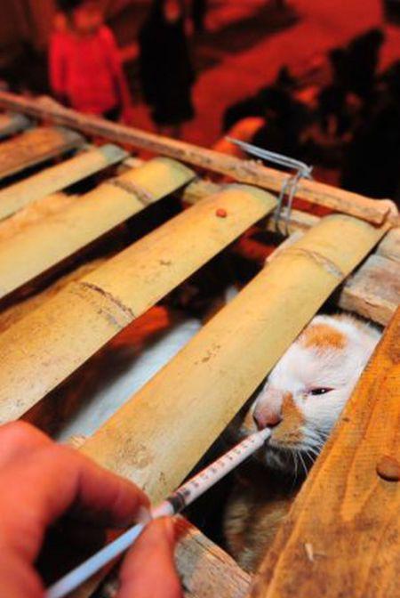 Volunt�rios resgatam 1000 Gatos do abate na China depois de acidente de caminh�o 08
