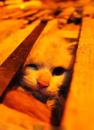 Volunt�rios resgatam 1000 Gatos do abate na China depois de acidente de caminh�o 11