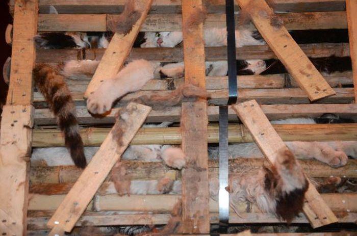 Volunt�rios resgatam 1000 Gatos do abate na China depois de acidente de caminh�o 12