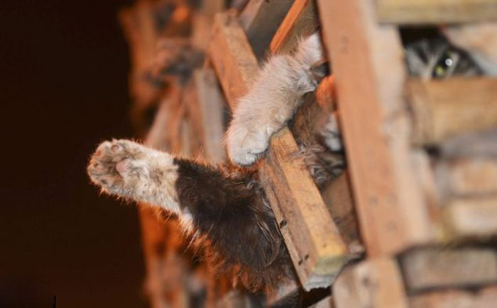 Volunt�rios resgatam 1000 Gatos do abate na China depois de acidente de caminh�o 14