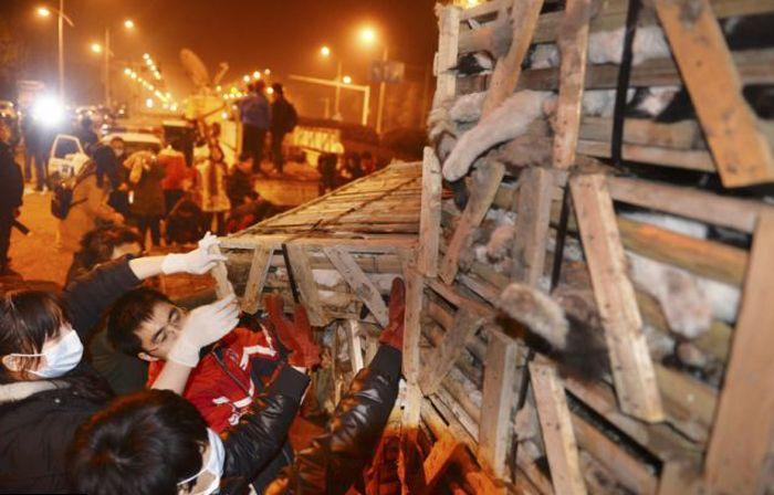 Volunt�rios resgatam 1000 Gatos do abate na China depois de acidente de caminh�o 15