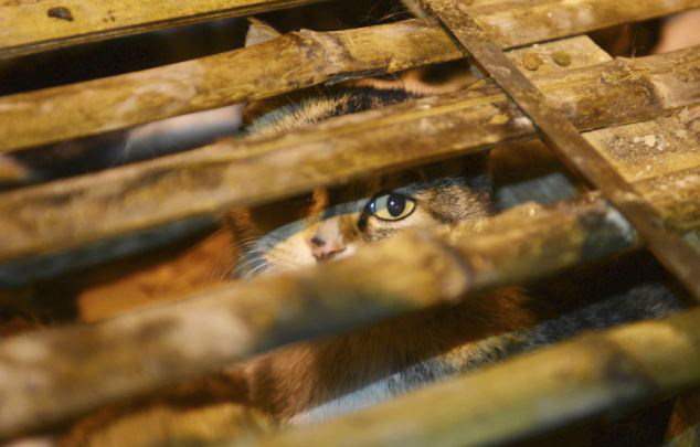 Volunt�rios resgatam 1000 Gatos do abate na China depois de acidente de caminh�o 16