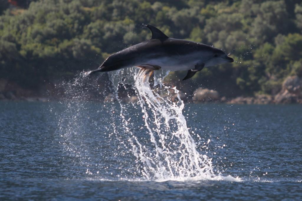 Polvo tarado agarrou-se no peru do golfinho 01