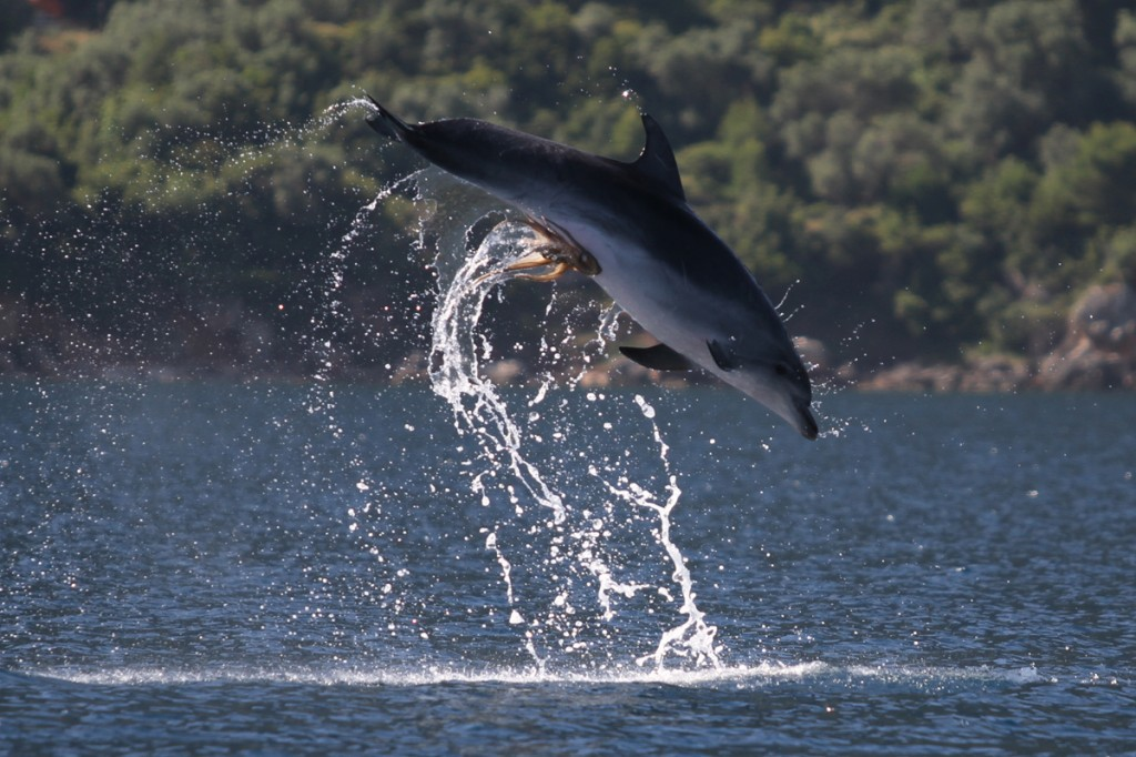 Polvo tarado agarrou-se no peru do golfinho 02