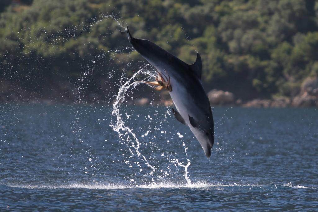 Polvo tarado agarrou-se no peru do golfinho 03