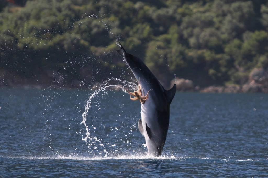 Polvo tarado agarrou-se no peru do golfinho 04