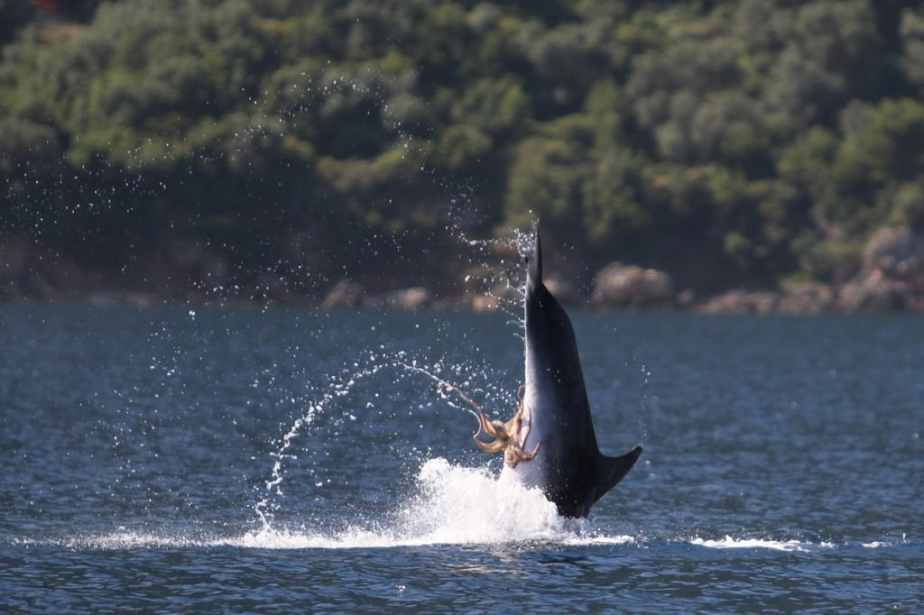 Polvo tarado agarrou-se no peru do golfinho 05