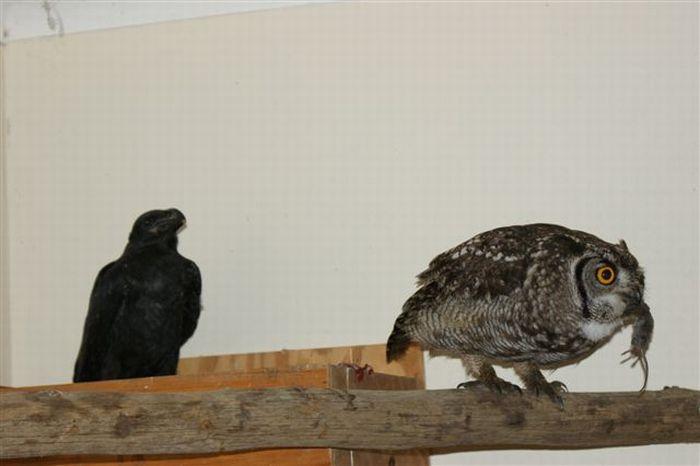 A gratid�o de uma coruja 08