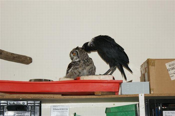 A gratid�o de uma coruja 09