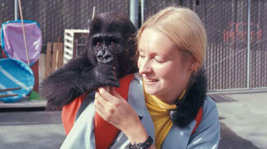 Morreu Koko, a gorila mais famosa do mundo por sua capacidade para «falar» com humanos
