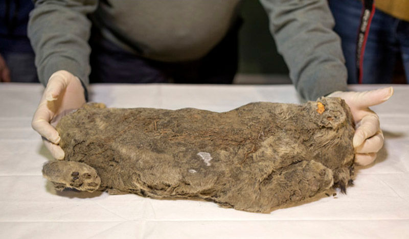 Encontram um leão de 55.000 anos atrás em tão bom estado que os cientistas acham que sua espécie poderia ser ressuscitada