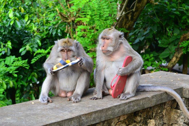 Macacos aprenderam a roubar objetos de valor para trocá-los por comida de melhor qualidade