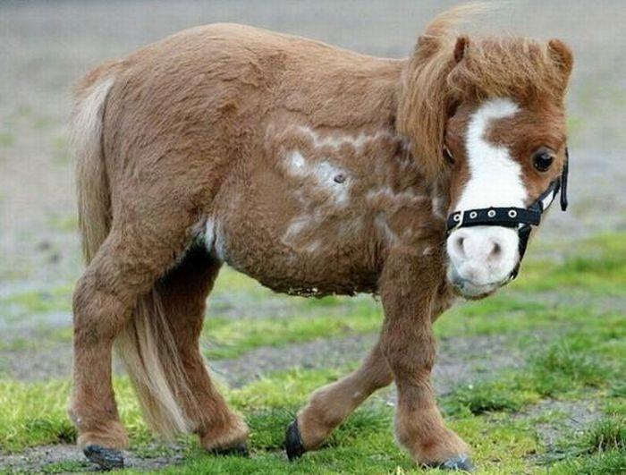 Koda,o menor cavalo do mundo 02