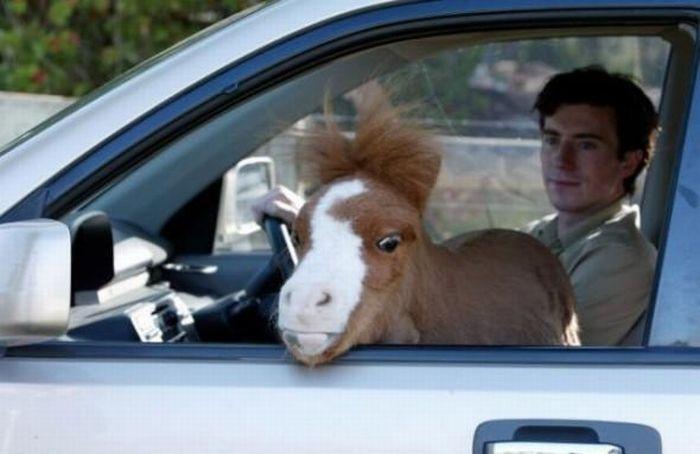 Koda,o menor cavalo do mundo 04