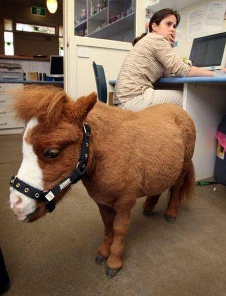 Koda,o menor cavalo do mundo 05