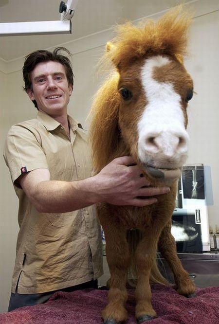 Koda,o menor cavalo do mundo 06