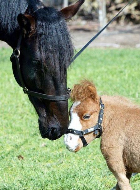 Koda,o menor cavalo do mundo 09
