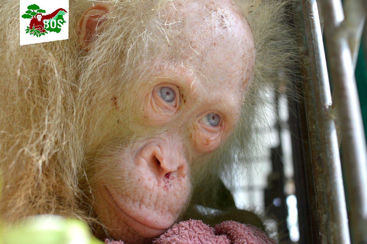 Deslumbrante orangotango albino de olhos azuis é resgatado dos captores