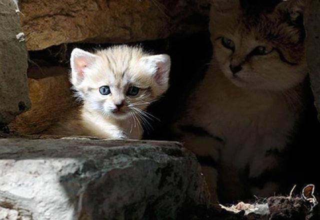 Parque comemora o nascimento de um raro gato-do-deserto 01