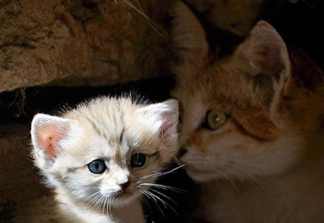 Parque comemora o nascimento de um raro gato-do-deserto 02