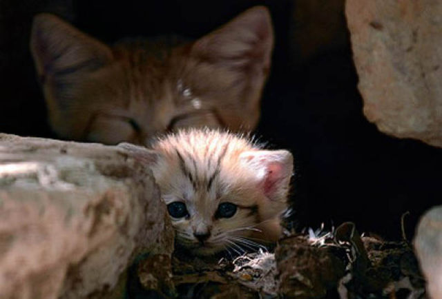 Parque comemora o nascimento de um raro gato-do-deserto 03