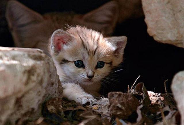 Parque comemora o nascimento de um raro gato-do-deserto 04