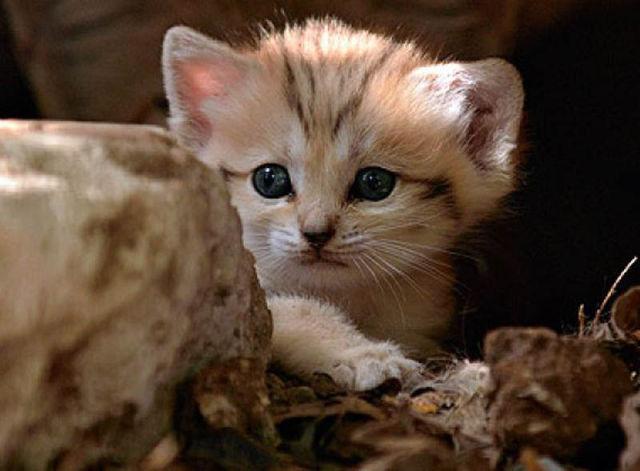 Parque comemora o nascimento de um raro gato-do-deserto 05