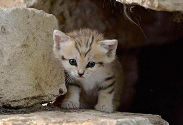 Parque comemora o nascimento de um raro gato-do-deserto 06