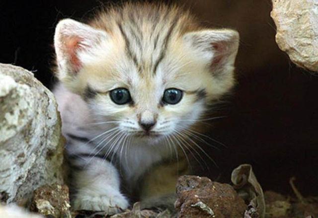 Parque comemora o nascimento de um raro gato-do-deserto 07
