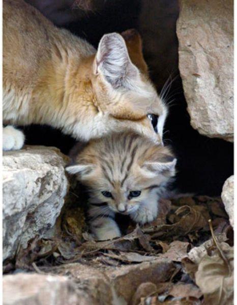 Parque comemora o nascimento de um raro gato-do-deserto 08
