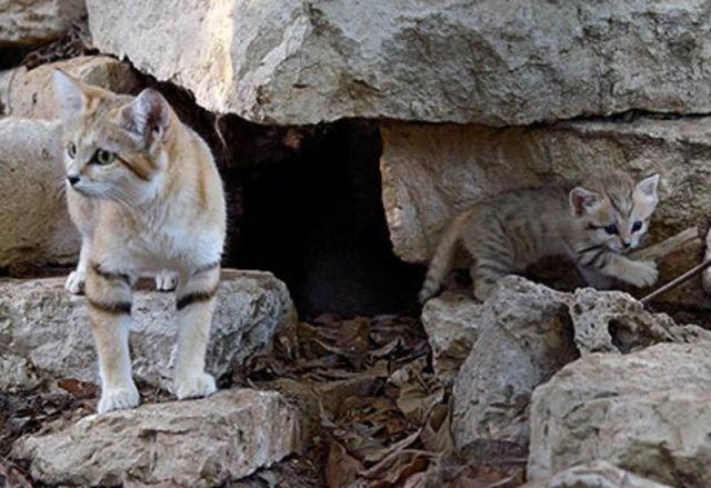 Parque comemora o nascimento de um raro gato-do-deserto 09