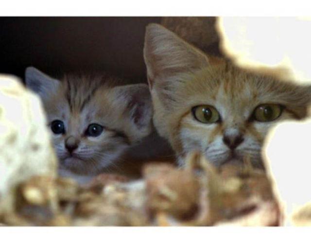 Parque comemora o nascimento de um raro gato-do-deserto 10