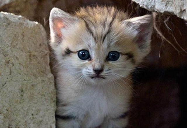 Parque comemora o nascimento de um raro gato-do-deserto 11